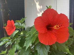 ハイビスカスの花が今年も開花しました(^^♪